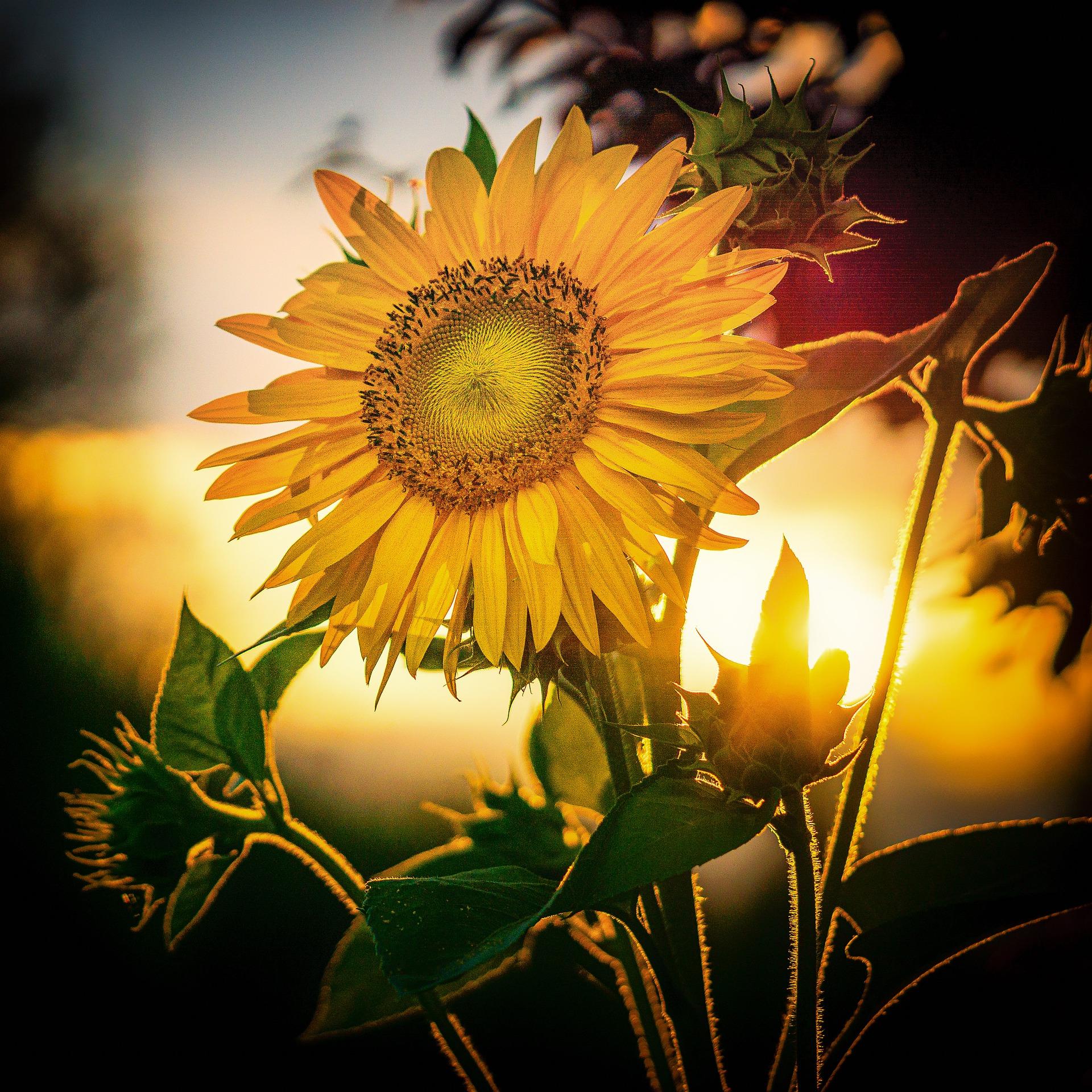 sunflower-4393716_1920